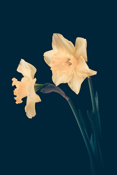 Two genetically identical daffodils.